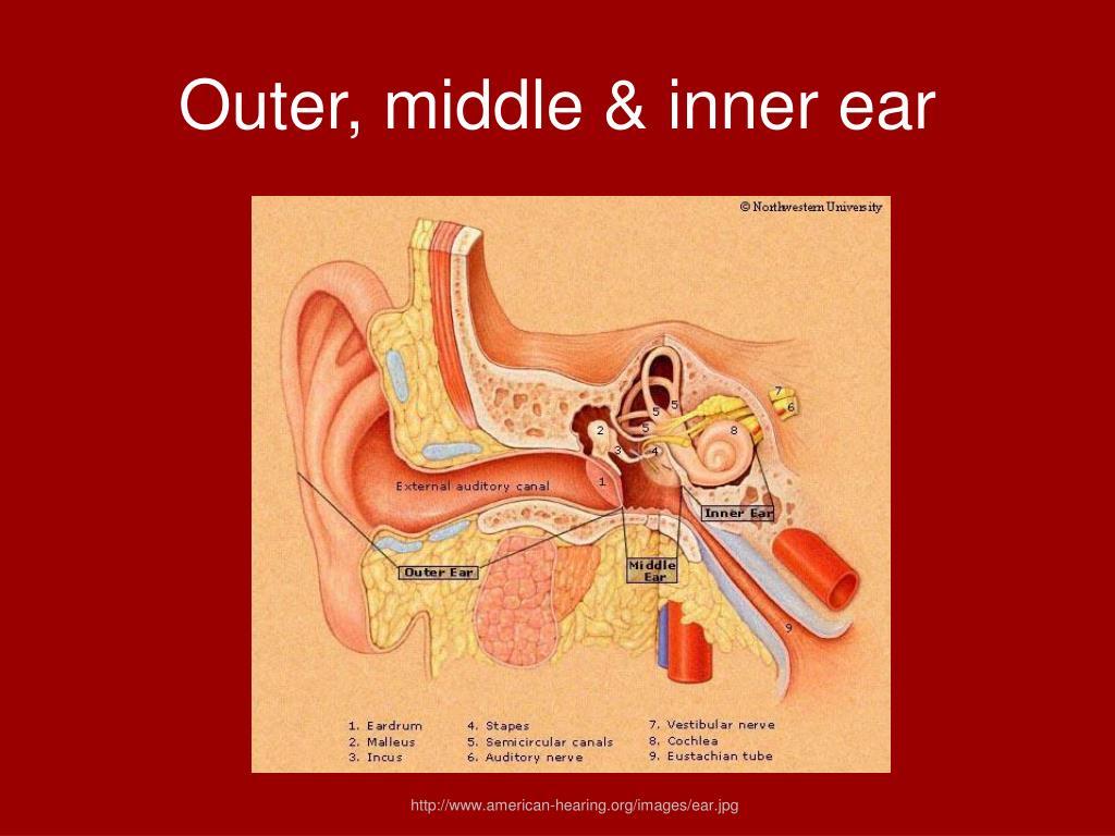 Outer, middle & inner ear