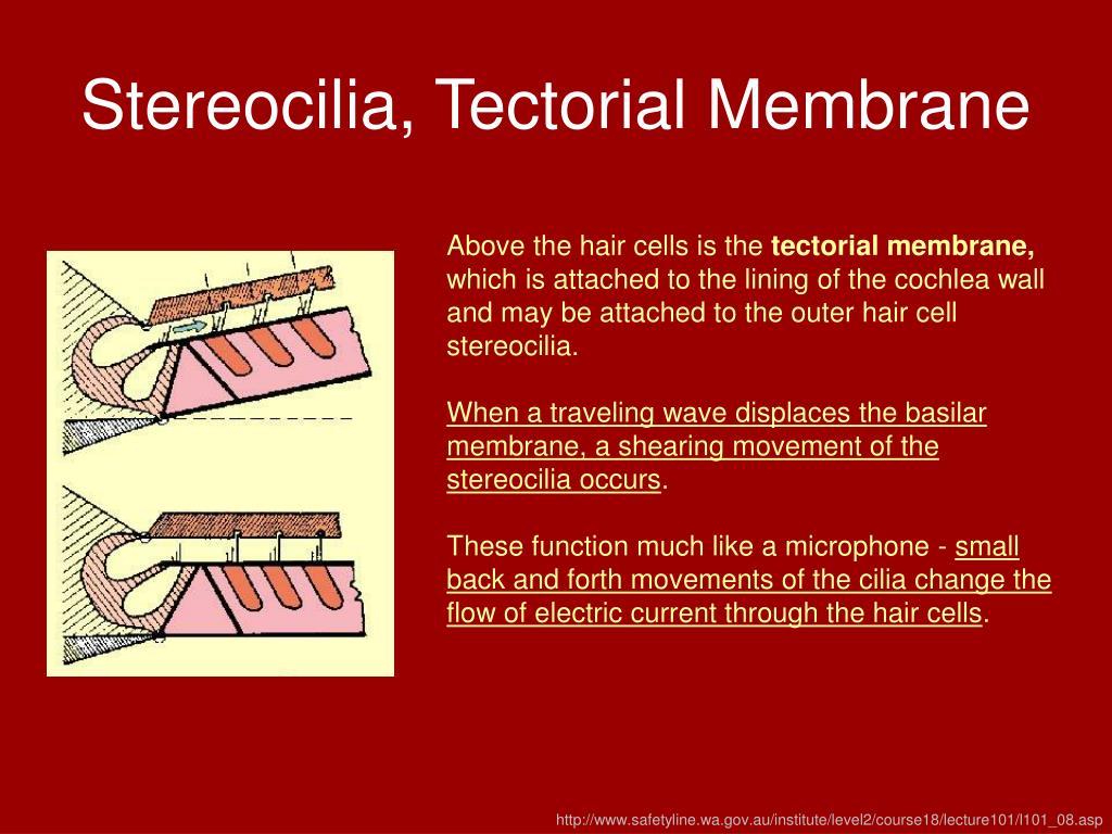 Stereocilia, Tectorial Membrane