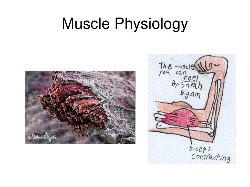 muscle physiology l.