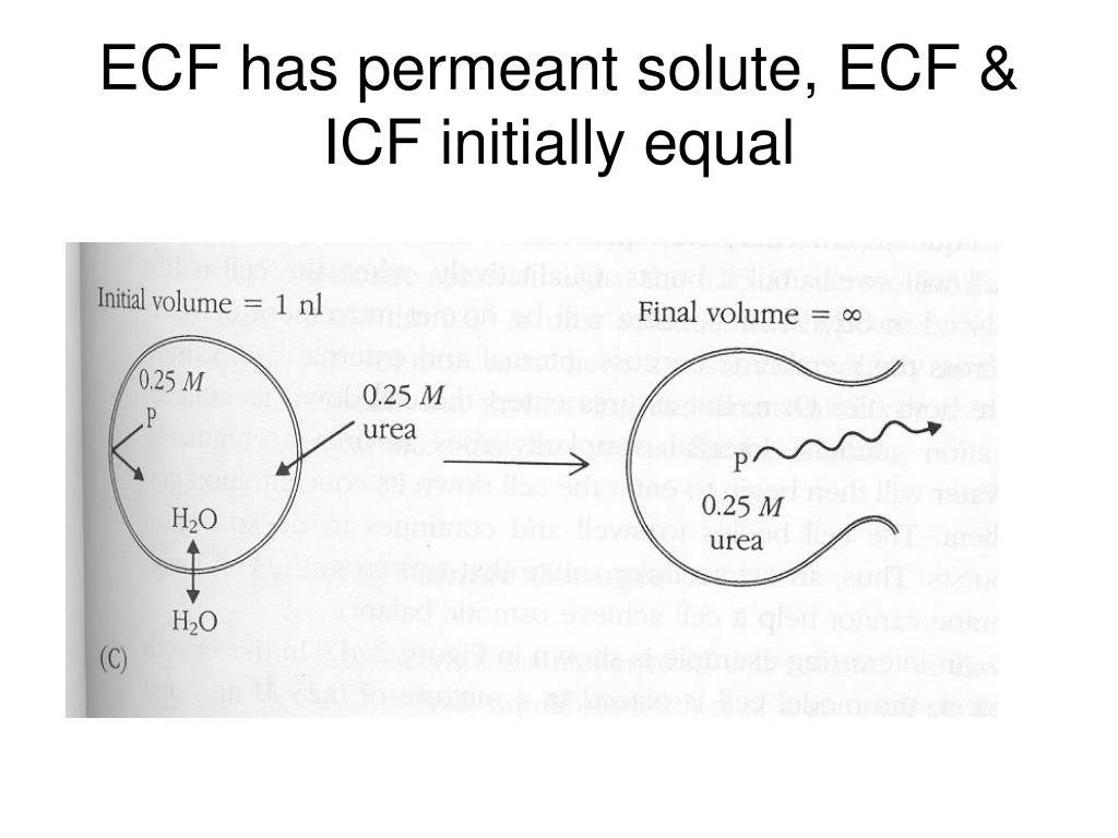 ECF has permeant solute, ECF & ICF initially equal