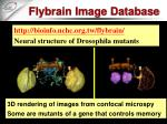 flybrain image database