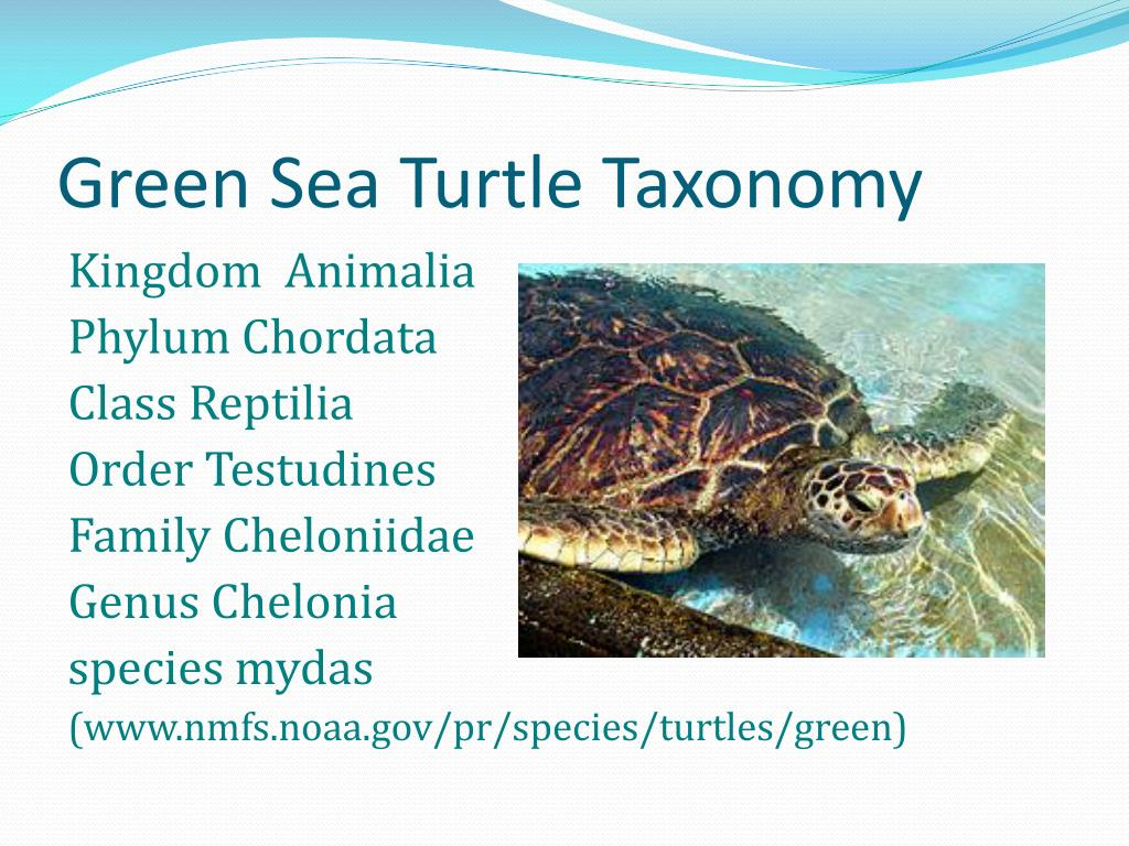 Green Sea Turtle Taxonomy