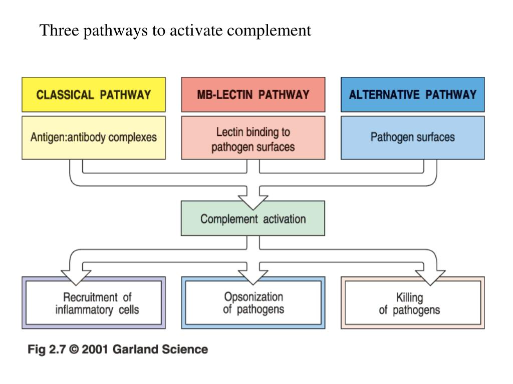 Three pathways to activate complement