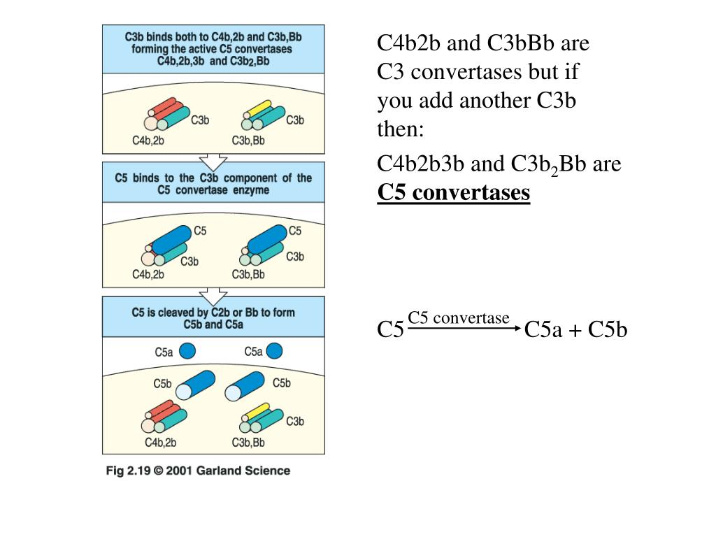 C4b2b and C3bBb are C3 convertases but if you add another C3b then:
