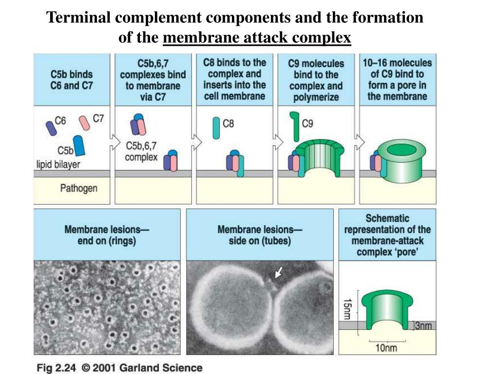 Terminal complement components and the formation of the