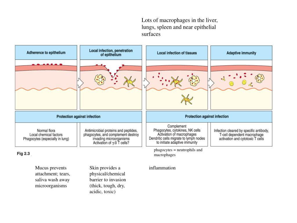 Lots of macrophages in the liver, lungs, spleen and near epithelial surfaces