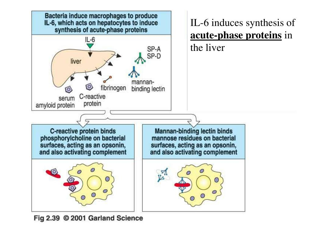 IL-6 induces synthesis of