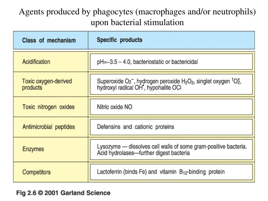 Agents produced by phagocytes (macrophages and/or neutrophils) upon bacterial stimulation