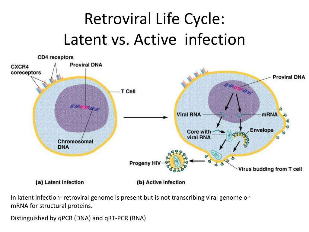 retroviral life cycle latent vs active infection l.