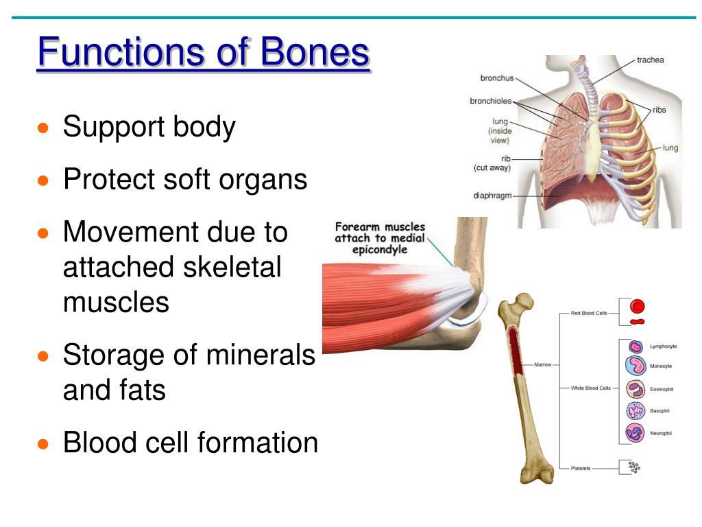 Chapter 5 The Skeletal System Anatomy And Physiology Coloring