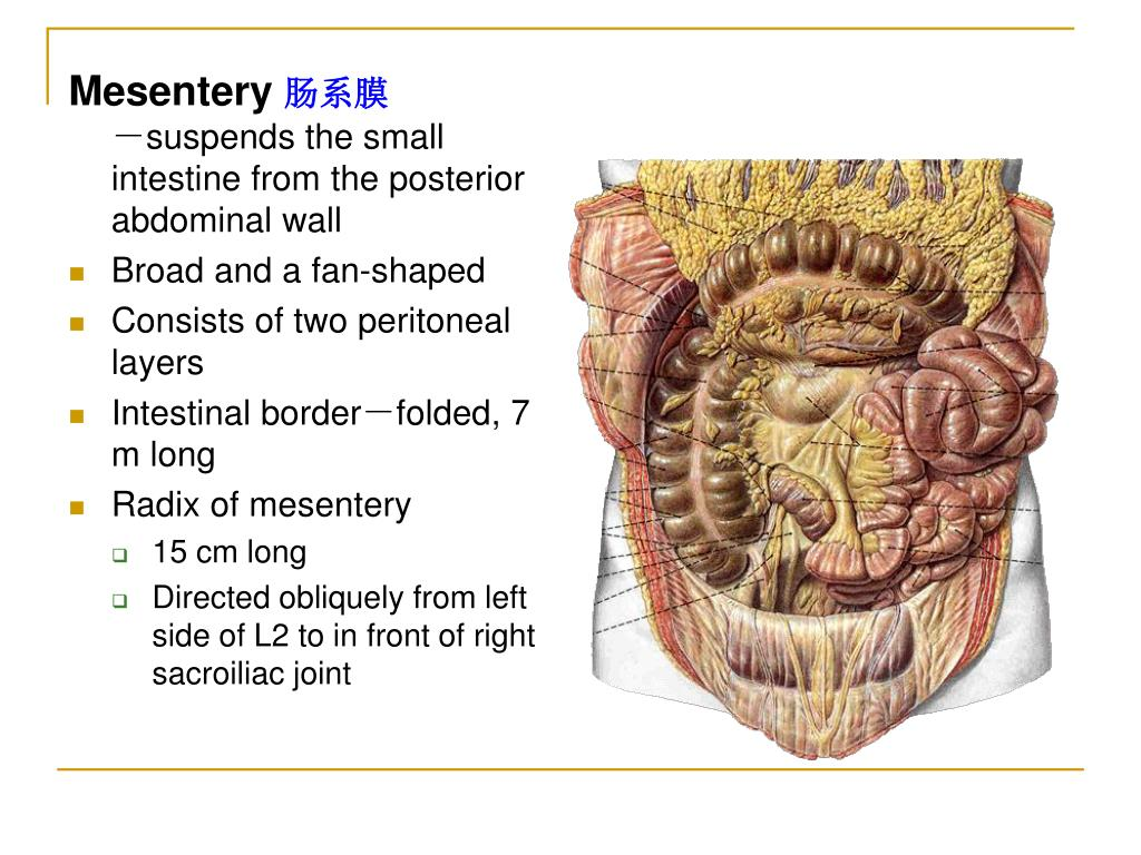 PPT - The peritoneum 腹膜 PowerPoint Presentation - ID:746252