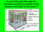 o 2 and co 2 pass through the stomata and glucose travels in the phloem and water in the xylem