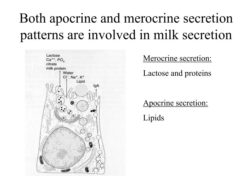 Both apocrine and merocrine secretion patterns are involved in milk secretion