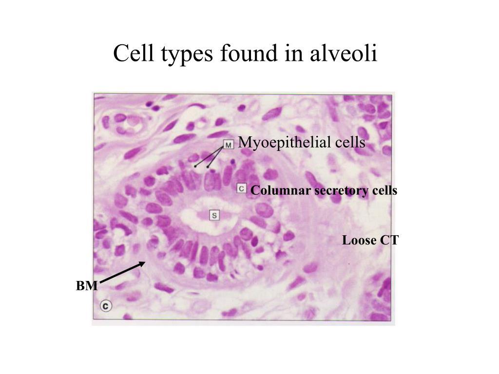 Myoepithelial cells