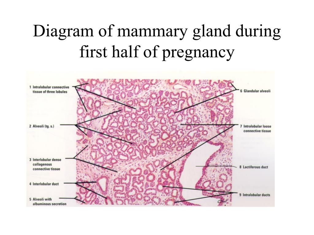 Diagram of mammary gland during first half of pregnancy