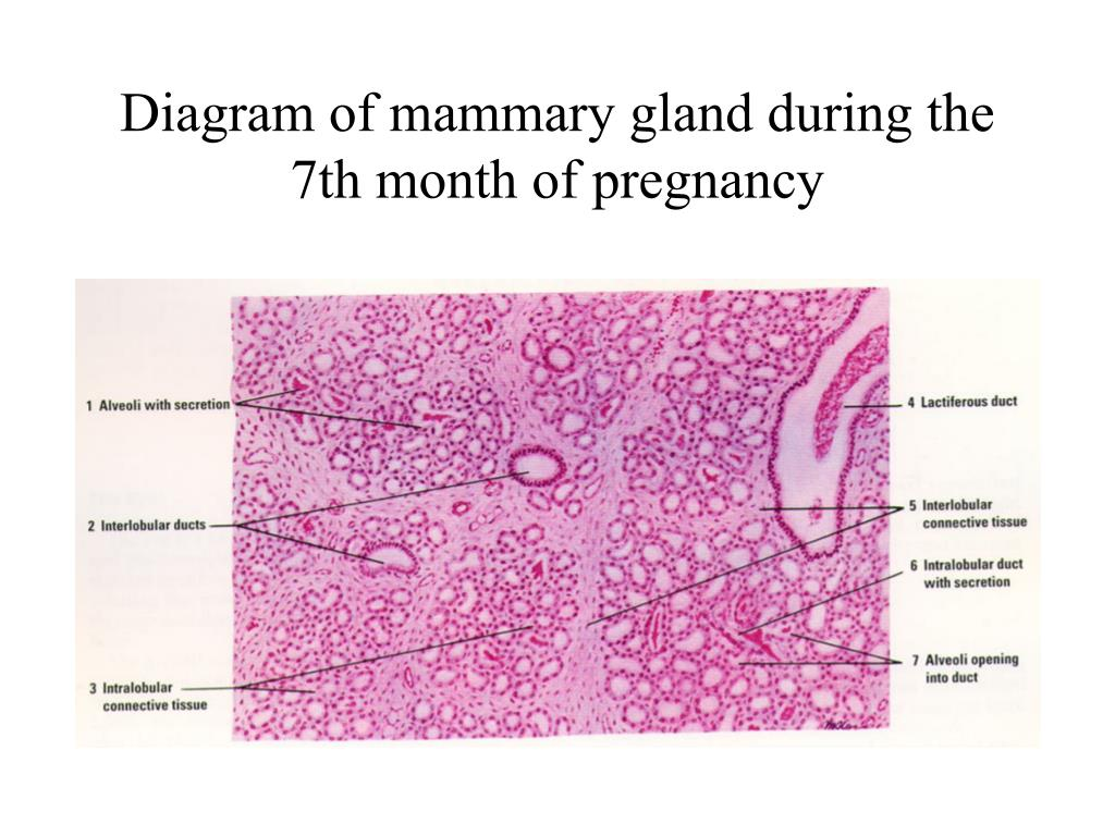 Diagram of mammary gland during the 7th month of pregnancy