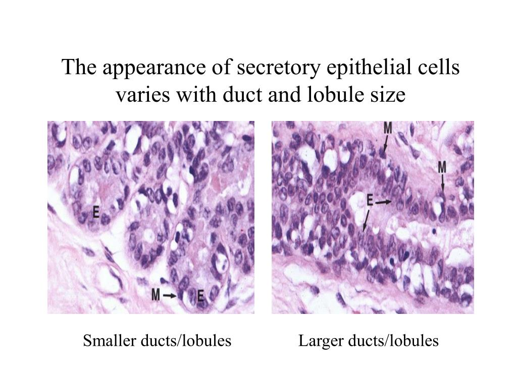 The appearance of secretory epithelial cells varies with duct and lobule size