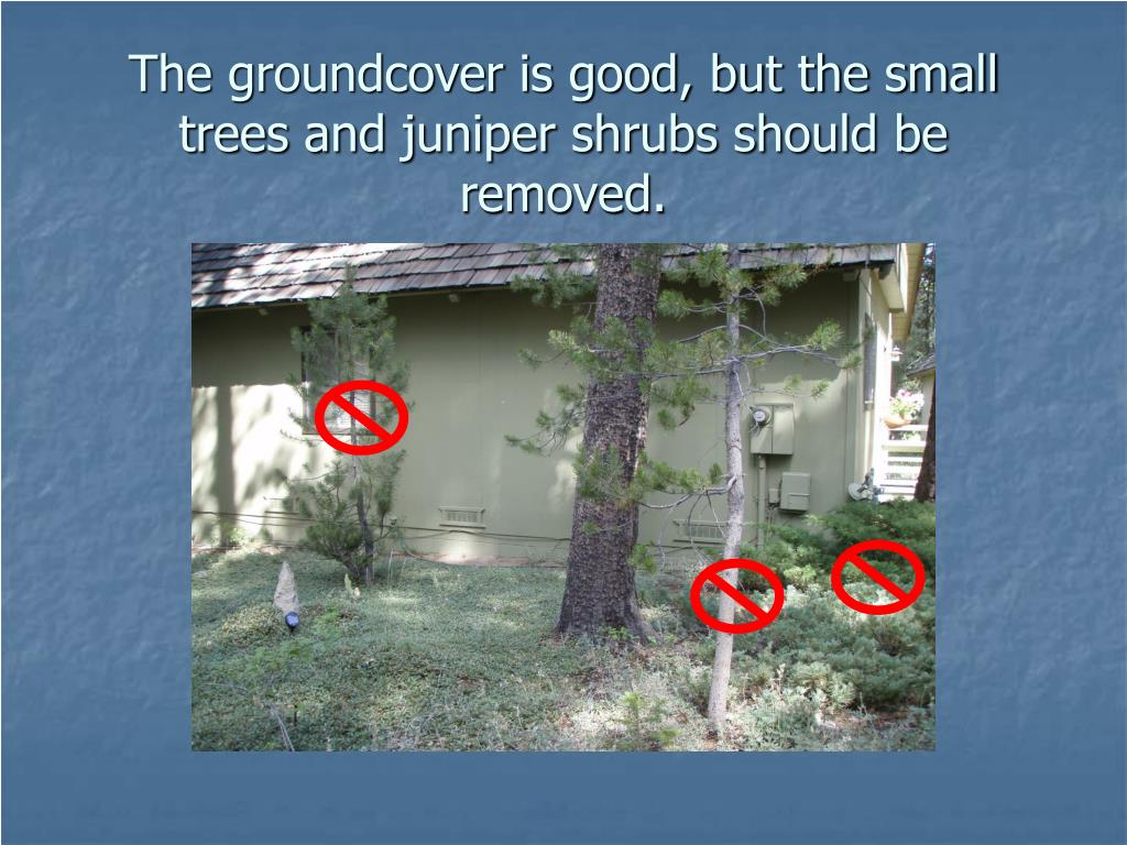 The groundcover is good, but the small trees and juniper shrubs should be removed.