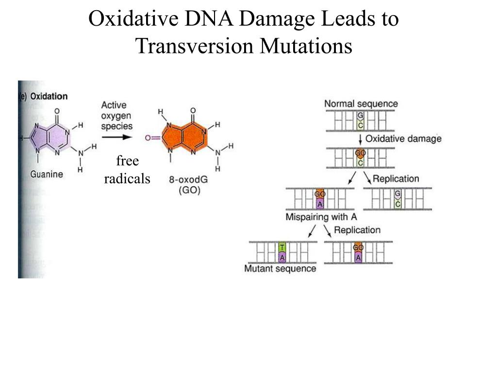Oxidative DNA Damage Leads to Transversion Mutations