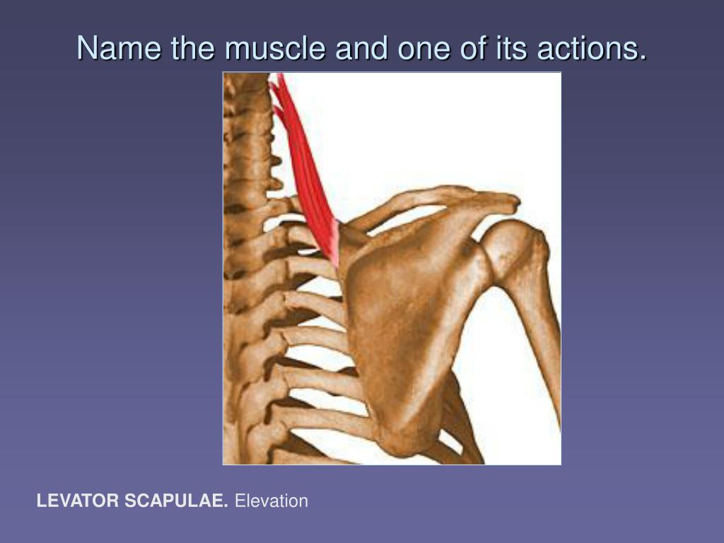 Name the muscle and one of its actions.