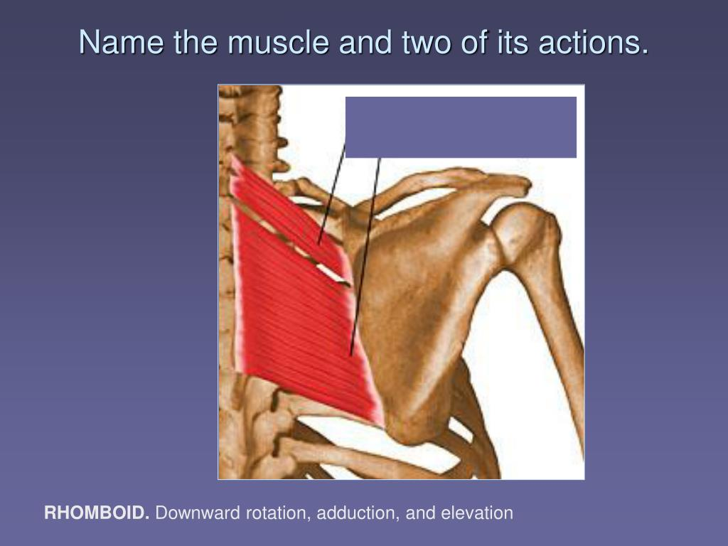 Name the muscle and two of its actions.