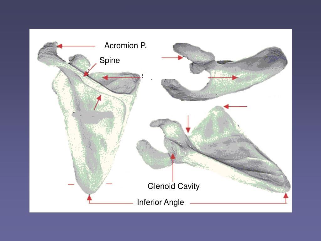Acromion P.
