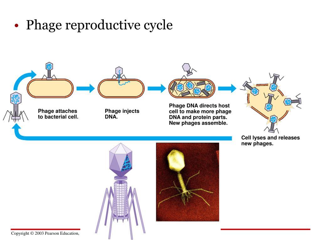 Phage reproductive cycle