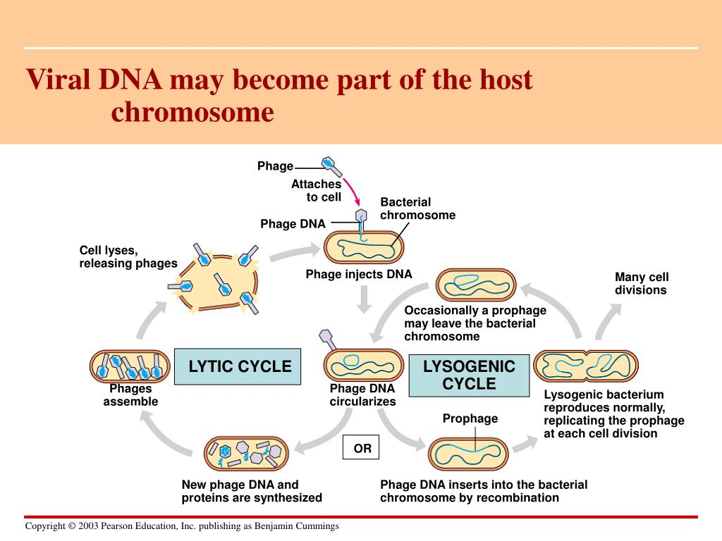 Viral DNA may become part of the host chromosome