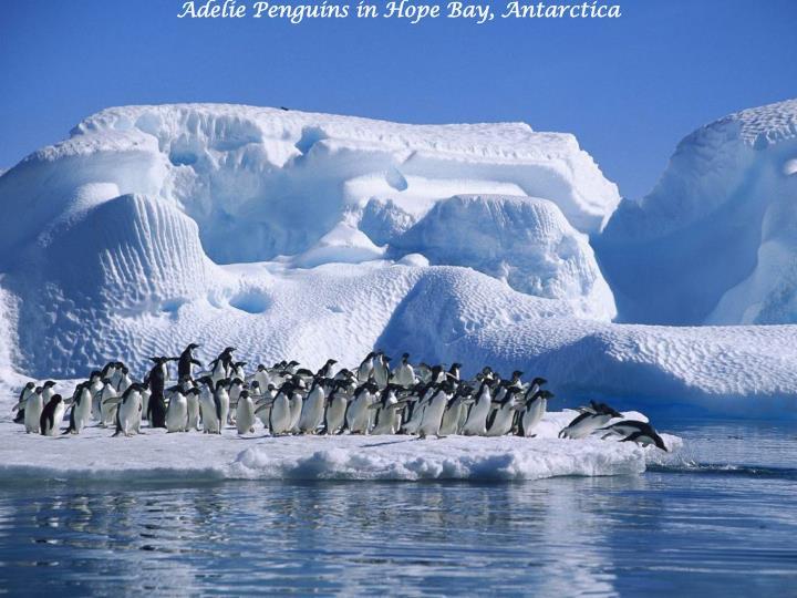 Adelie penguins in hope bay antarctica