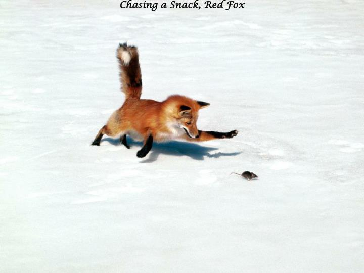 Chasing a snack red fox