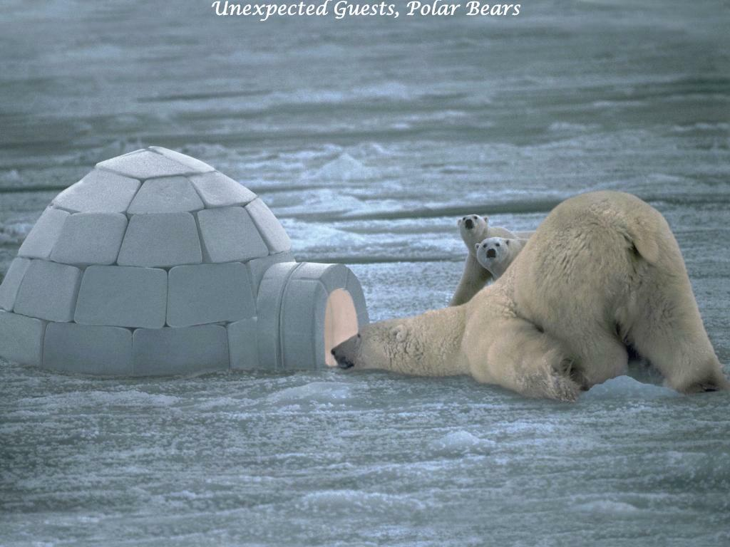 Unexpected Guests, Polar Bears