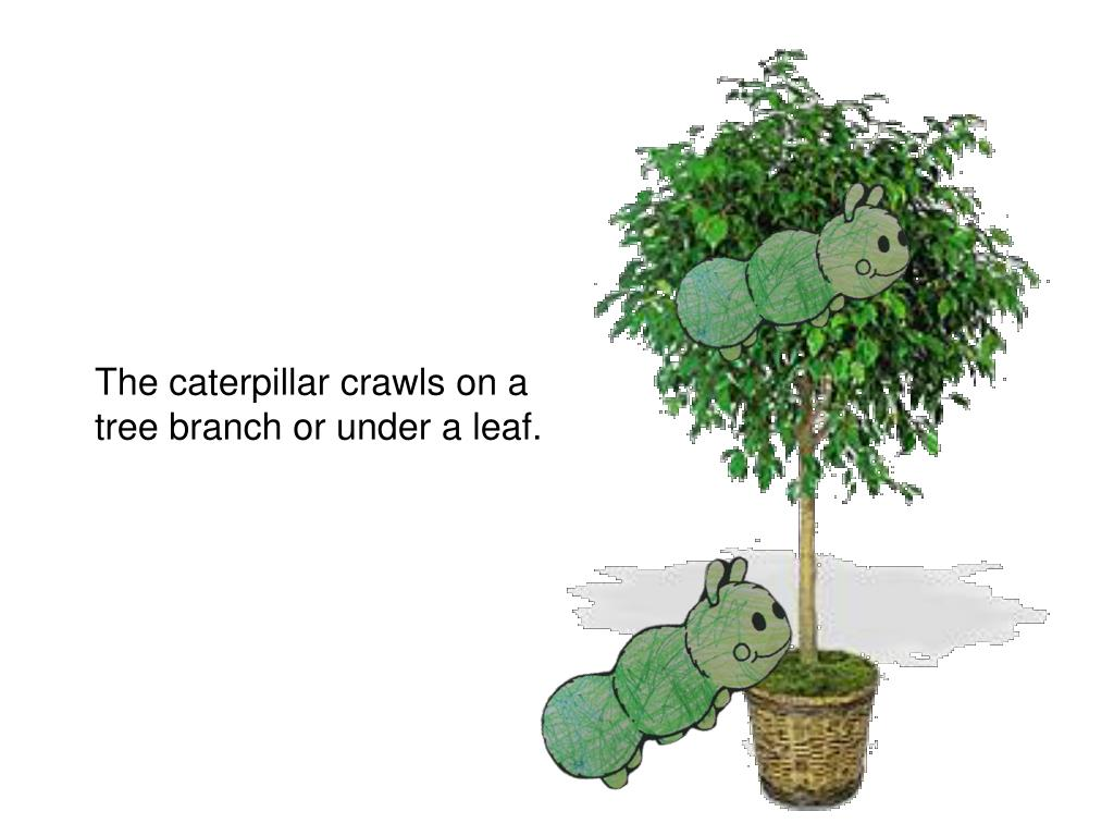 The caterpillar crawls on a tree branch or under a leaf.