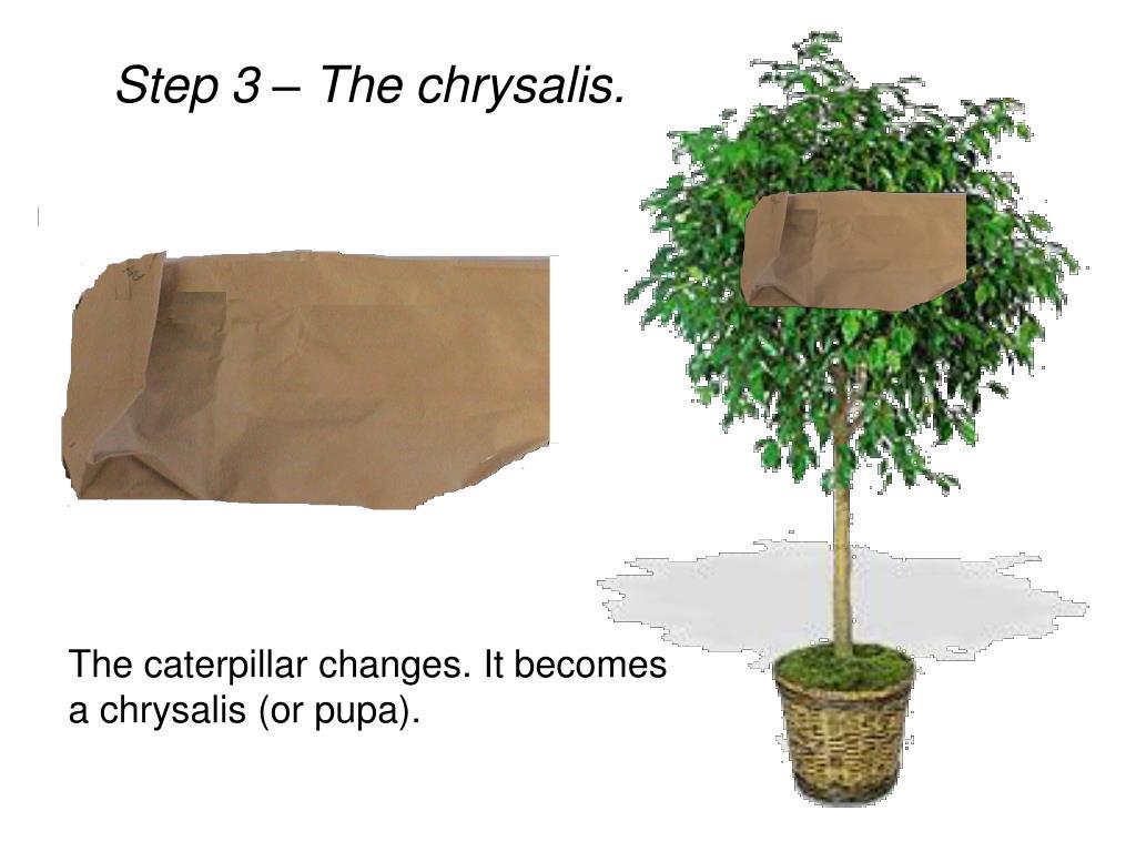Step 3 – The chrysalis.