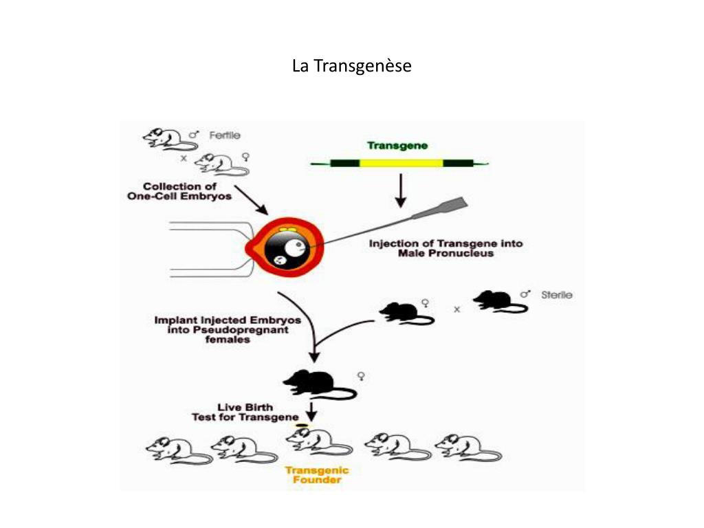 La Transgenèse