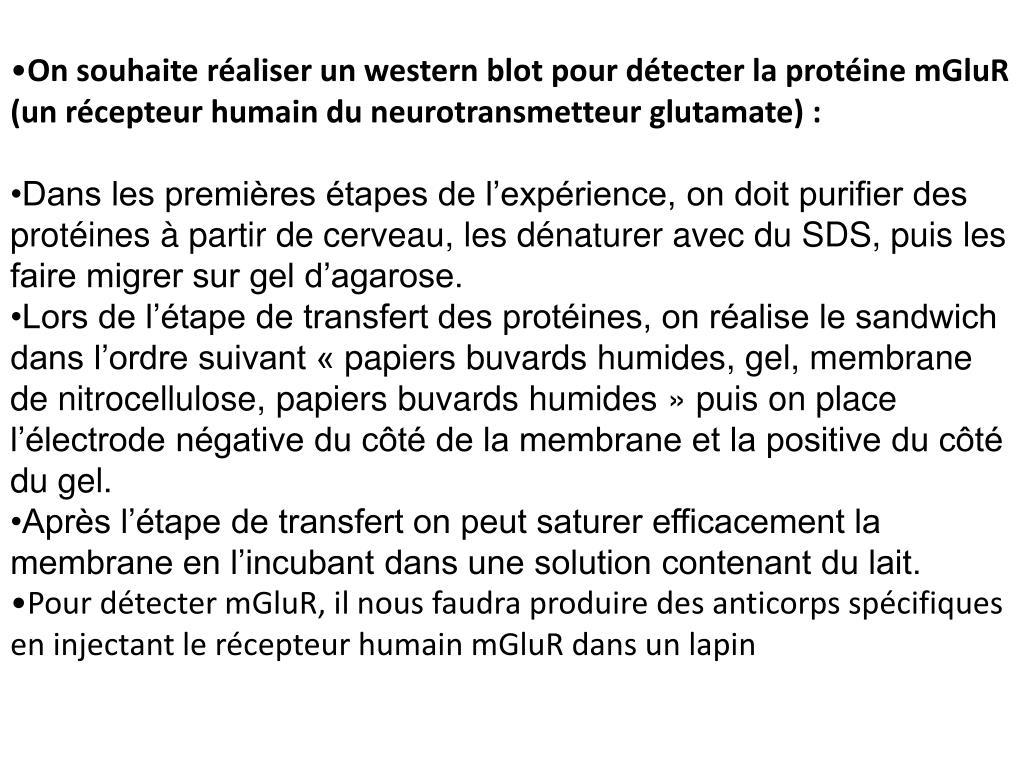 On souhaite réaliser un western blot pour détecter la protéine mGluR (un récepteur humain du neurotransmetteur glutamate):