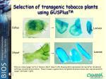 selection of transgenic tobacco plants using gusplus tm