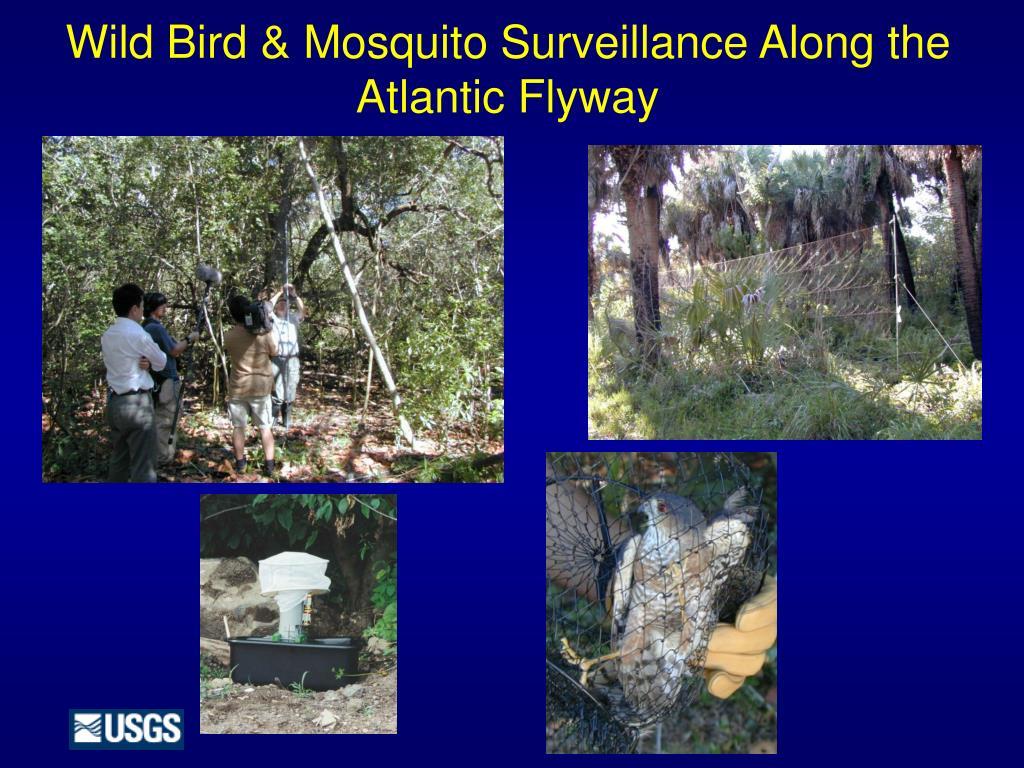 wild bird mosquito surveillance along the atlantic flyway l.
