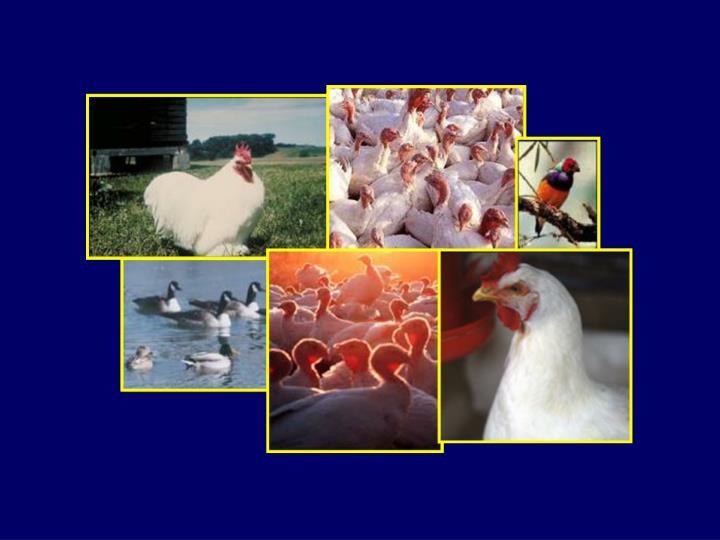Avian influenza ai