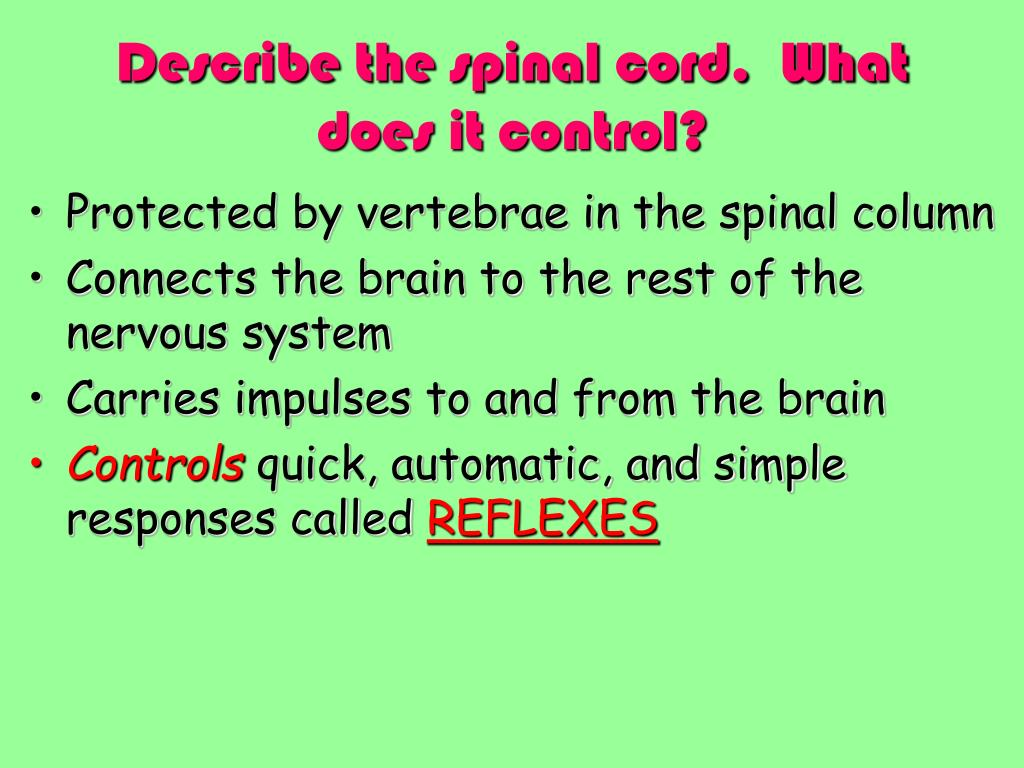 Describe the spinal cord.  What does it control?