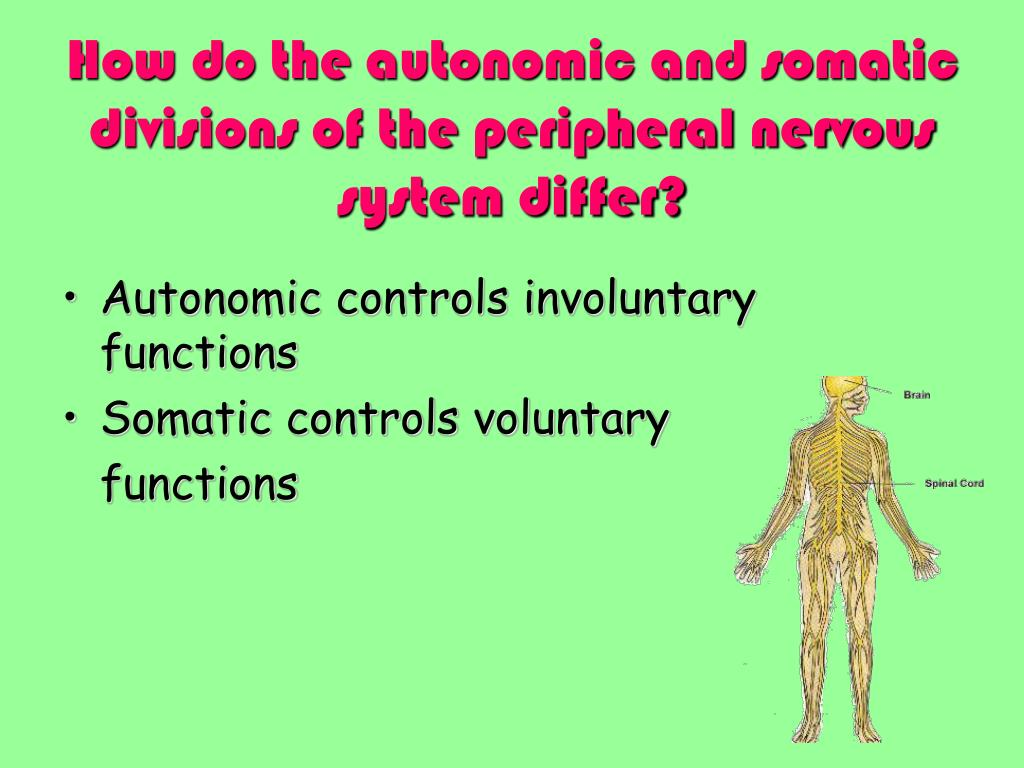 How do the autonomic and somatic divisions of the peripheral nervous system differ?