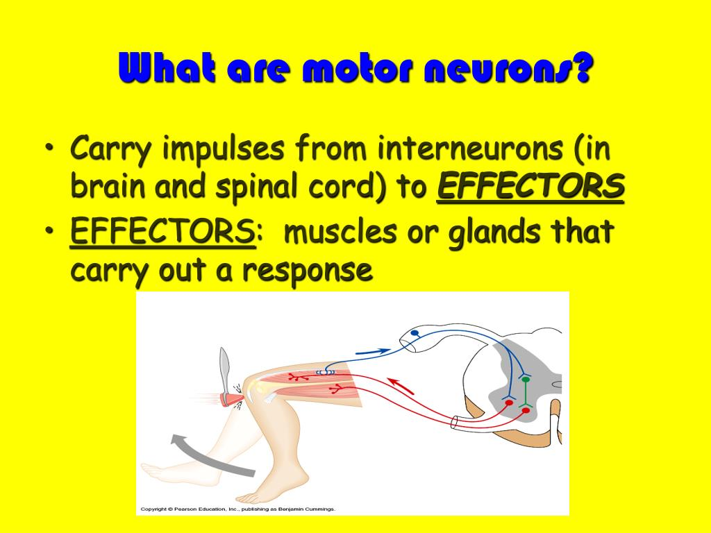 What are motor neurons?
