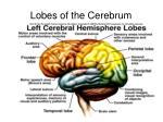 lobes of the cerebrum