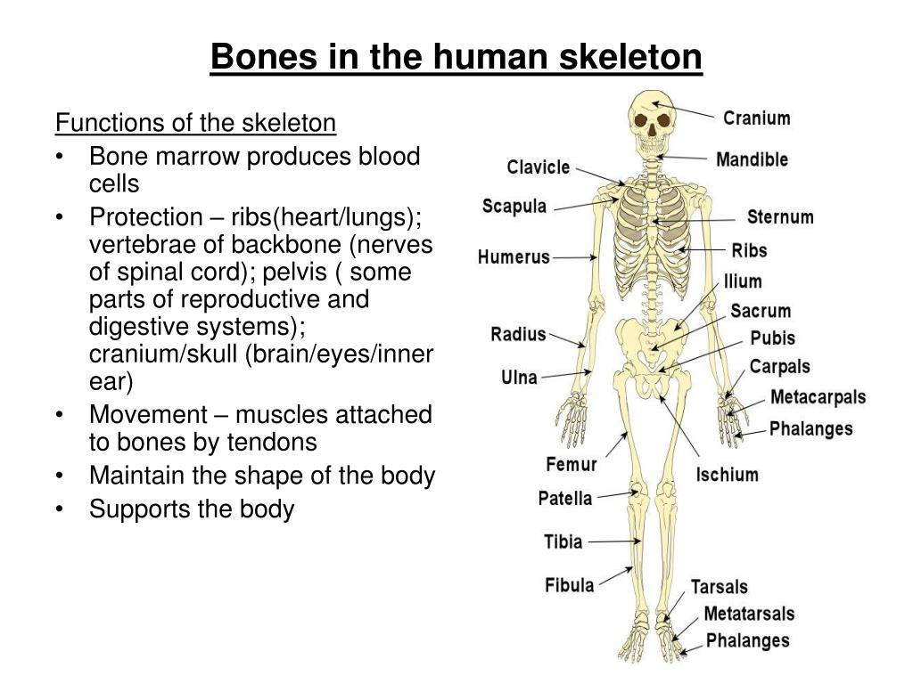 Ppt Bones In The Human Skeleton Powerpoint Presentation Id763141