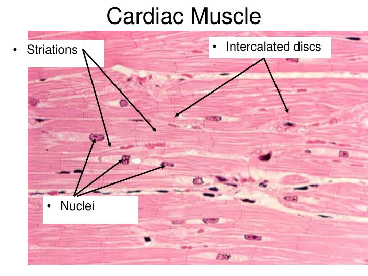 Ppt Muscle Histology Powerpoint Presentation Id764186