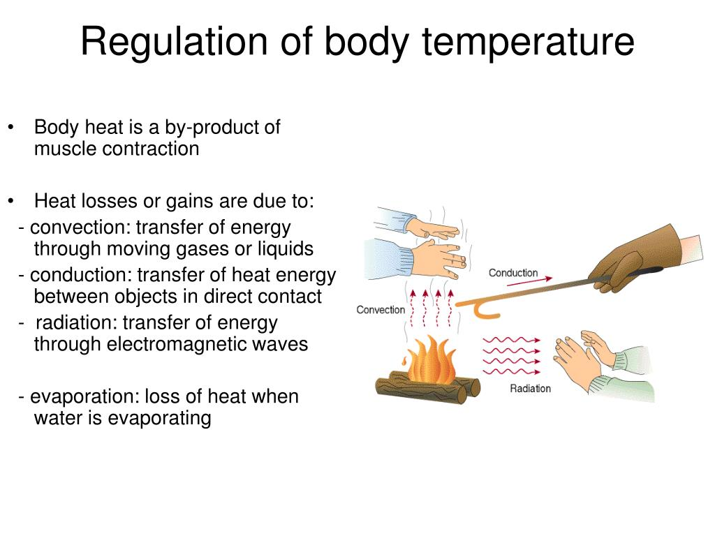 Body heat is a by-product of muscle contraction