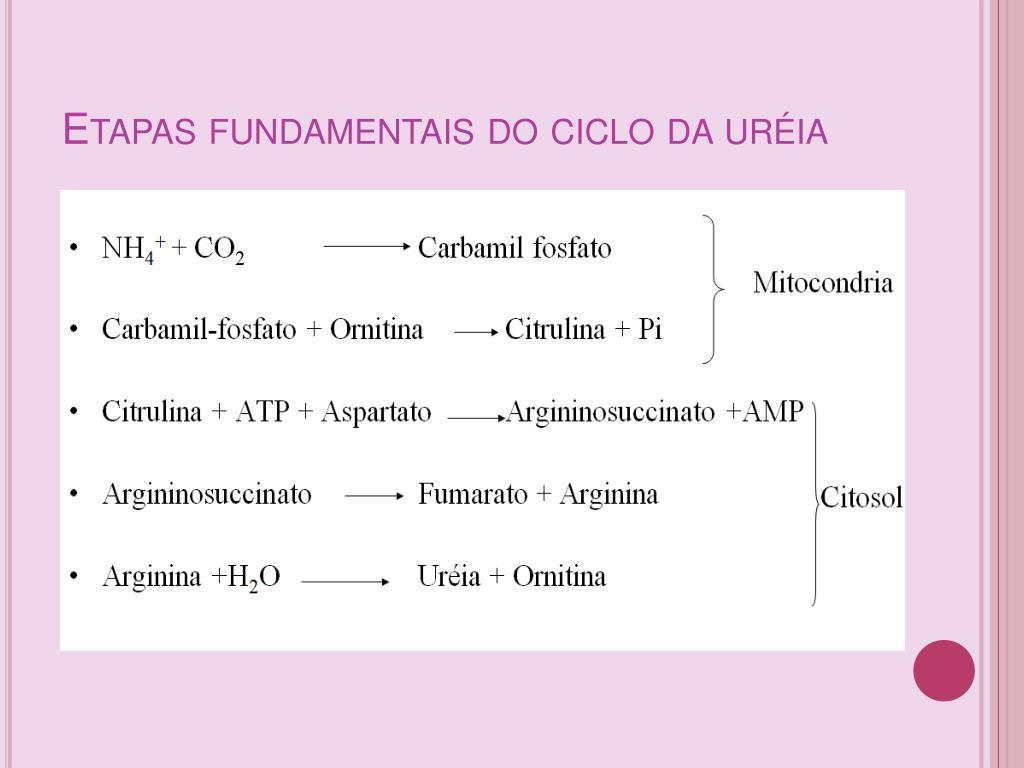 Etapas fundamentais do ciclo da uréia