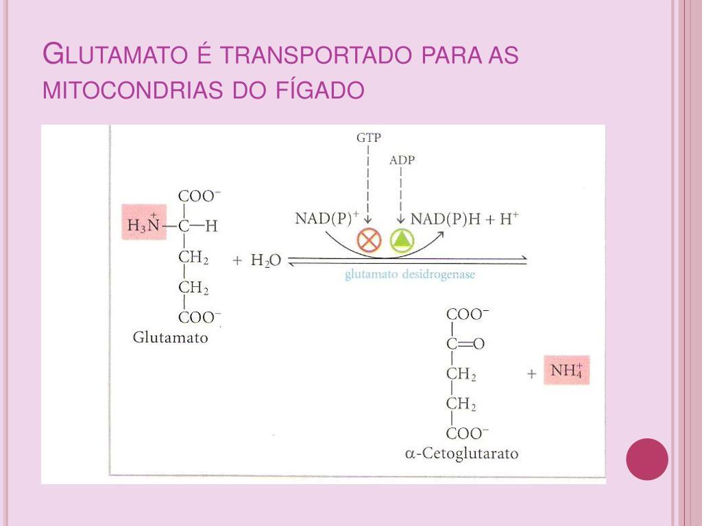 Glutamato é transportado para as mitocondrias do fígado