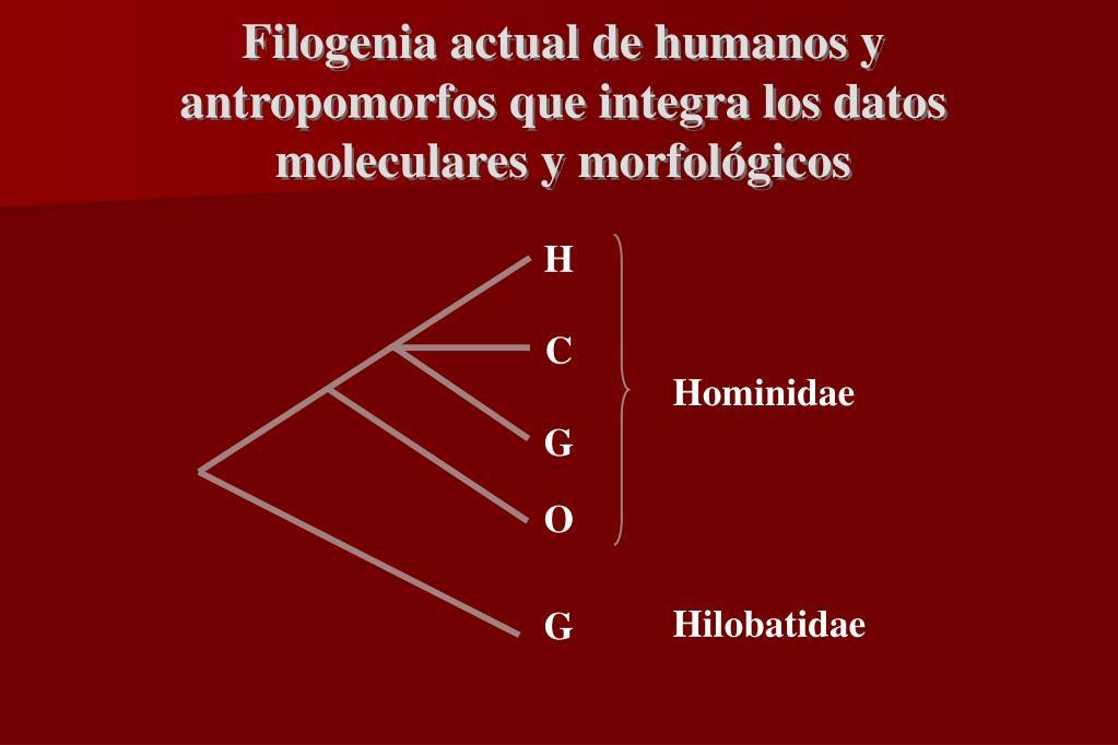 Filogenia actual de humanos y antropomorfos que integra los datos moleculares y morfológicos