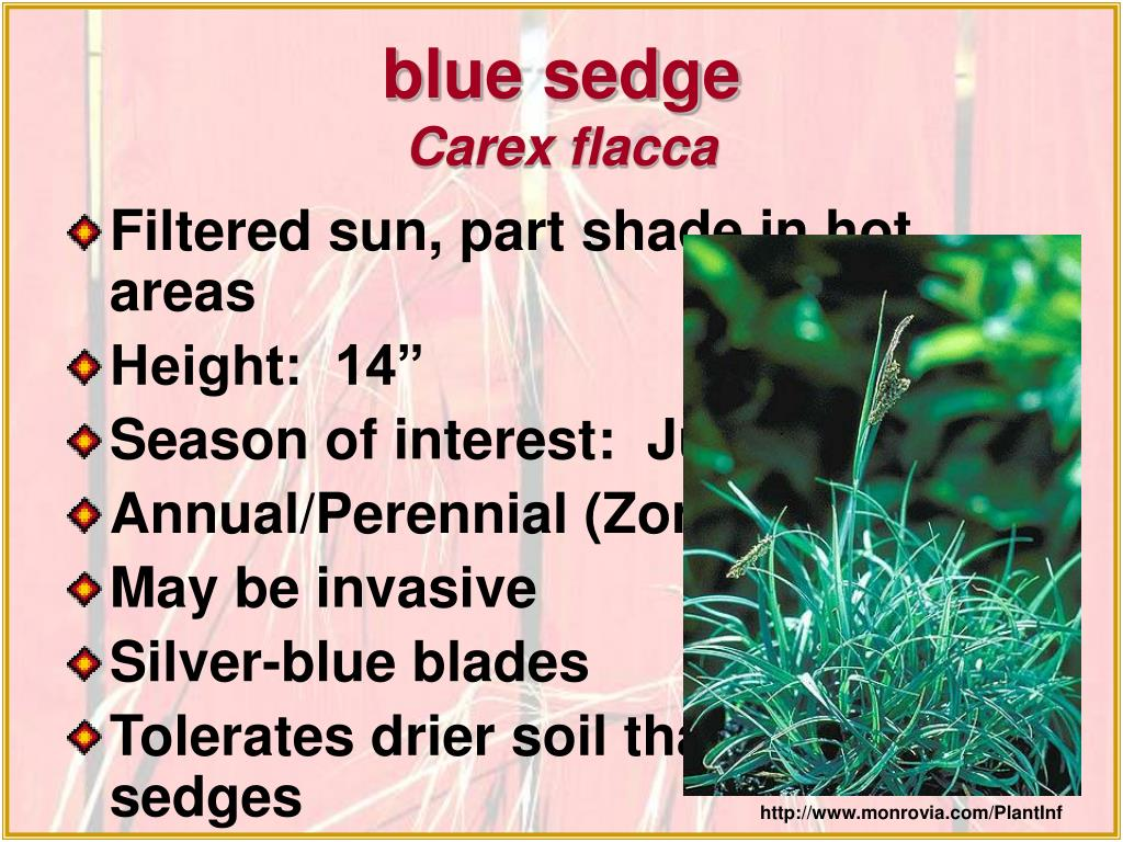 blue sedge
