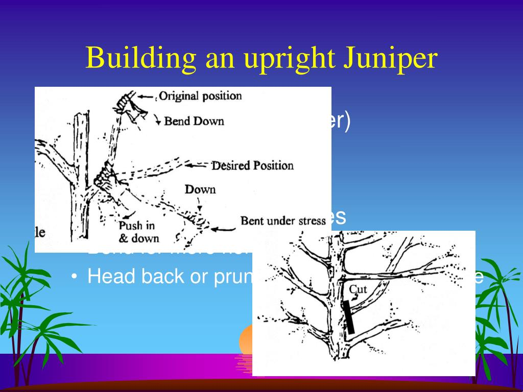 Building an upright Juniper